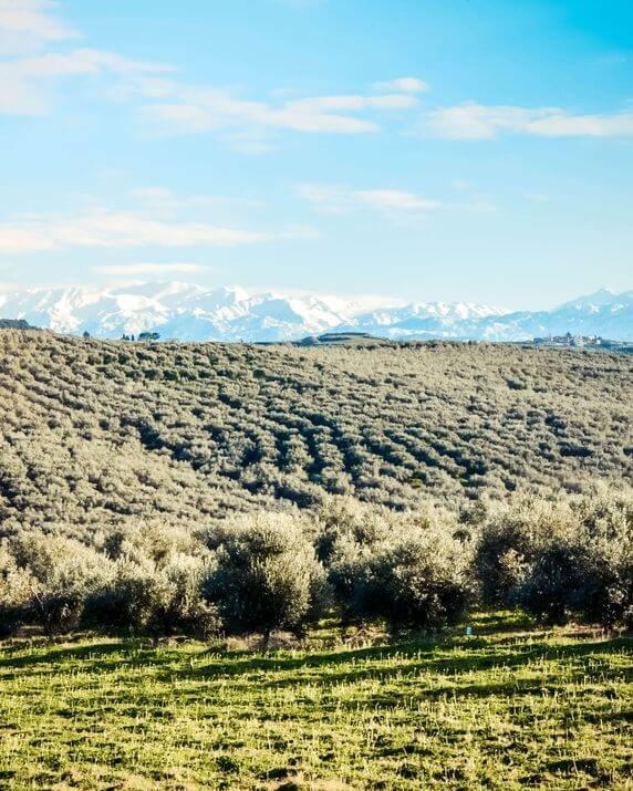 kolymvari region - organic olive groves (3) (1)